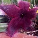 asclepiadaceae
